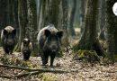Divlje svinje uništile oko 100 dunuma usjeva