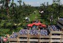 Završava se berba: 32 berača nabrala 150 tona kvalitetne šljive, sve ide u Njemački, Austriju i Italiju…